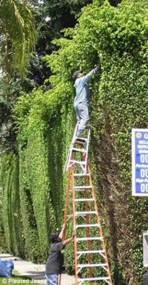 A man precariously uses two ladders to reach a tricky branch